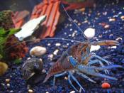 A pet crayfish named Clippy II and an apple snail in a freshwater home aquarium