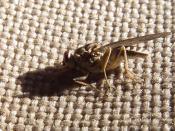 English: TseTse fly, Glossina_morsitans, vector of sleeping disease, picture taken in Tanzania