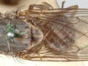 tsetse fly which transmits sleeping sickness
