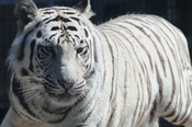 English: Closeup on head and flank of a Royal White Bengal Tiger, standing, in its habitat at Cougar Mountain Zoo.