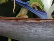 Gold dust day gecko licking nectar from Bird of Paradise flower. The image was taken at Kona, Hawaii.