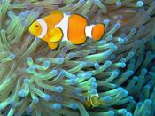 English: Common Clownfish (Amphiprion ocellaris) in their Magnificent Sea Anemone (Heteractis magnifica) home on the Great Barrier Reef, Australia.
