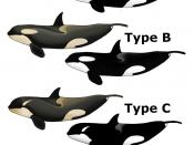 English: Known types of Killer Whale