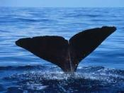 The flukes of a sperm whale as it dives into the Gulf of Mexico (courtesy NMFS)