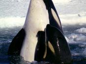 Type C killer whales in the Ross Sea. The eye patch slants forward.