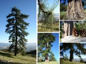 English: Ponderosa pine identifying characteristics