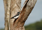 English: A White-breasted Woodswallow (Artamus leucorynchus) perched at its nest on the foreshore of the lagoon between MacMasters and Copacabana beach on the central coast of New South Wales, Australia.