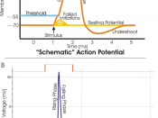 Figure A. shows the idealized phases of an action potential. Figure B. is a recording of an actual action potential N.B. Actual recordings of action potentials are often distorted compared to the schematic view because of variations in electrophysiologica