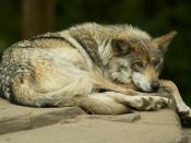 English: Shot at the Minnesota Zoo. A critically endangered Mexican Gray Wolf is kept captive for breeding purposes. Less than 15 Mexican Wolves are currently estimated to survive in the wild.