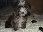 English: This is my puppy Messi