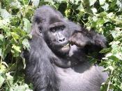 A mountain gorilla in the Kahuzi-Biega Reserve, Democratic Republic of the Congo