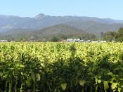English: Myrtleford, Victoria, April 2005; looking across tobacco crop to drying kilns and the Mount Buffalo National Park in the distance.