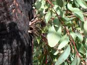 English: Epicormic shoots sprouting from epicormic buds on the bushfire damaged trunk of a Eucalyptus tree approximately two years after the 2003 Eastern Victorian alpine bushfires. Near Anglers Rest, Victoria, Australia.