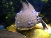 Axolotl in captivity
