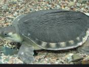 English: Pig-snouted River (Carettochelys insculpta) in aquarium of ZOO Brno, Czech Republic Česky: Karetka novoguinejská (Carettochelys insculpta) v akváriu ZOO Brna