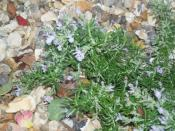 Creeping Rosemary in flower
