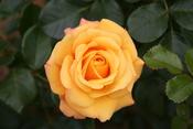English: Amber Flush rose - Bagatelle Rose Garden (Paris, France). Français : Rose Amber Flush - Roseraie de Bagatelle (Paris, France).