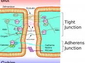 English: Schematic sketch showing the tight junctions and adherens junctions at the blood-brain barrier. Deutsch: Schematische Darstellung der tight junctions und adherens junctions an der Blut-Hirn-Schranke.