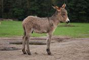 English: Three weeks old Equus asinus in Kadzidłowo, Poland. Français : Un ânon de trois semaines. Photo prise à Kadzidłowo, en Pologne.
