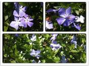 A Major Vinca Recalls Memories Of Childhood Honey Periwinkle