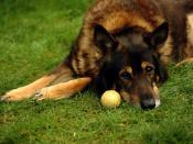 English: A German Shepherd waiting for someone to play with him.