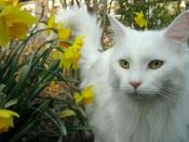 English: An all-white Maine Coon (domestic cat).