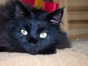 English: Black Maine Coon Cat