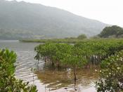 Black mangrove or river mangrove, Aegiceras corniculatum.