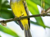 Grey Headed Canary Flycatcher