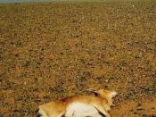 A Mongolian gazelle that has died of drought, due to the third straight year of