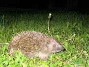 Hedgehog in the night, by Amraam_7. You're free to use this image any way you want.