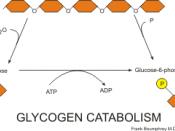 English: glycogen catabolism pathways