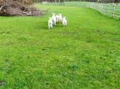 Airfield Farm & House - Little Lambs Decide To Ignore Me