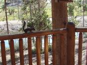 Steve the Squirrel, Grand Lake, CO 8-28-12