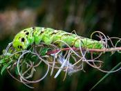 Hersey Caterpillar