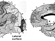 English: This drawing shows the regions of the human cerebral cortex as delineated by Korvinian Brodmann on the basis of cytoarchitecture.