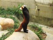 Ailurus fulgens, red panda.