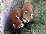 Two Red Pandas at the Calgary Zoo (in Calgary, Alberta, Canada). This image was cropped.