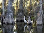 English: A great egret in a cypress grove. Français : Broméliacées poussant sur les cyprès des Everglades.
