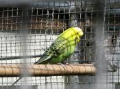 English: Caged bird, Ward Park As well as the many free to roam around the grounds, Ward Park in Bangor also has many exotic caged birds. This is a budgerigar.