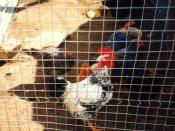 English: Caged off Birds. http://www.poultryhub.org