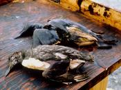 Birds killed as a result of oil from the Exxon Valdez spill. Photo courtesy of the Exxon Valdez Oil Spill Trustee Council.