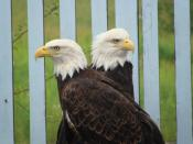 English: Eagles from the Exxon Valdez Oil spill in the care of Raptor Education Group Inc.