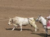 A loose bull is lassoed by a pickup rider during a rodeo