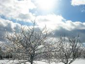 Two apple trees, coated in ice following an ice storm, with the sun shining bright in the afternoon sky.