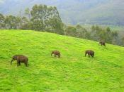 English: Wild elephants in Munnar, Kerala