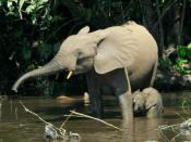 Forest elephants in the Mbeli River, Nouabalé-Ndoki National Park, Congo.