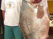 English: Nile perch Lates niloticus in comaprison with a man.