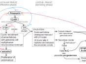hormonal regulation of menstrual cycle