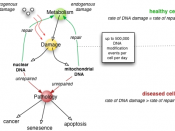 DNA repair rate is an important determinant of cell pathology